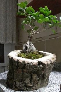 Ahşap kütük içerisinde ginseng bonsai  Van internetten çiçek siparişi
