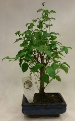 Minyatür bonsai japon ağacı satışı  Van çiçekçi telefonları