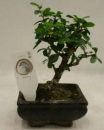 Küçük minyatür bonsai japon ağacı  Van çiçek gönderme