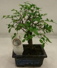 Minyatür ithal japon ağacı bonsai bitkisi  Van çiçek satışı