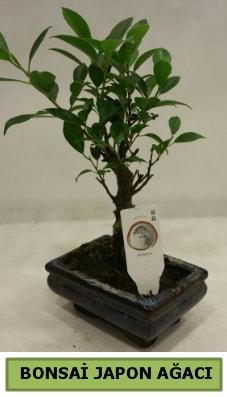 Bonsai japon ağacı saksı bitkisi  Van çiçek servisi , çiçekçi adresleri