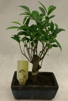 Japon ağacı bonsai bitkisi satışı  Van çiçekçi telefonları