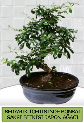 Seramik vazoda bonsai japon ağacı bitkisi  Van çiçek siparişi sitesi