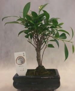 Bonsai japon ağacı bitkisi satışı  Van çiçek gönderme sitemiz güvenlidir