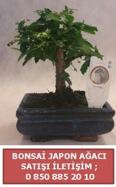 Japon ağacı minyaür bonsai satışı  Van çiçek satışı