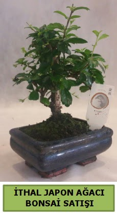 İthal japon ağacı bonsai bitkisi satışı  Van çiçekçi telefonları