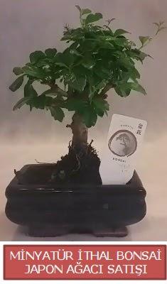 Küçük görsel bonsai japon ağacı bitkisi  Van çiçek , çiçekçi , çiçekçilik