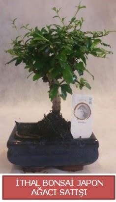 İthal küçük boy minyatür bonsai ağaç bitkisi  Van çiçekçi telefonları