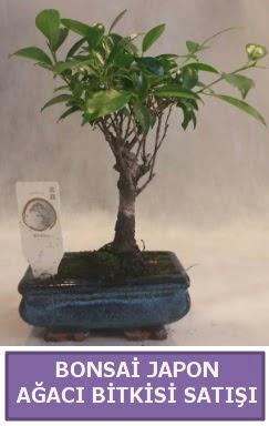 İthal Bonsai japon ağacı bitkisi satışı  Van İnternetten çiçek siparişi