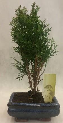 SINIRLI SAYIDA ÜRÜN Selvi Bonsai  Van İnternetten çiçek siparişi
