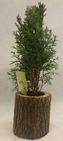 SINIRLI STOK Selvi Bonsai Doğal kütükte  Van İnternetten çiçek siparişi