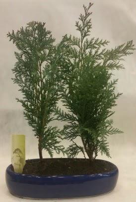 SINIRLI SAYIDA Selvi Ağacı bonsai ikili  Van çiçekçi telefonları