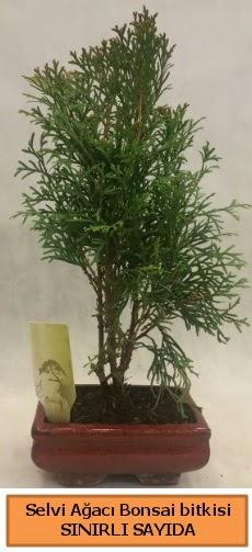 Selvi ağacı bonsai japon ağacı bitkisi  Van çiçek satışı