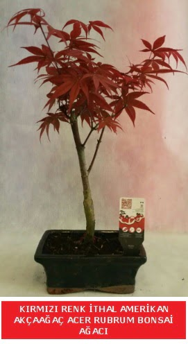 İTHAL ACER RUBRUM BONSAİ AĞACI  Van çiçek gönderme sitemiz güvenlidir