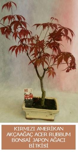 Amerikan akçaağaç Acer Rubrum bonsai  Van uluslararası çiçek gönderme