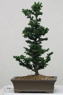 Çam ağacı bonsai bitkisi satışı  Van çiçekçi telefonları