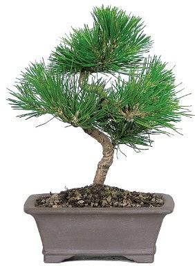 Çam ağacı bonsai japon ağacı bitkisi  Van çiçek gönderme