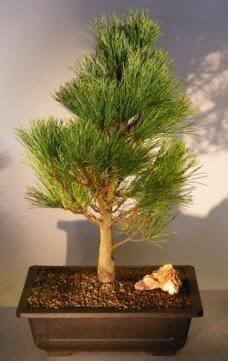 Çam ağacı japon ağacı bitkisi bonsai  Van çiçekçi telefonları