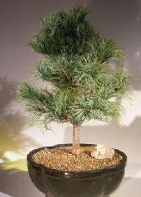 Çam ağacı bonsai bitkisi satışı  Van ucuz çiçek gönder