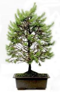 *** STOKTA YOK - Çam ağacı bonsai bitkisi satışı  Van cicekciler , cicek siparisi