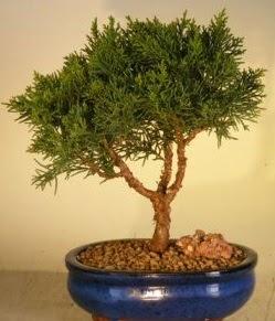 Servi çam bonsai japon ağacı bitkisi  Van çiçek yolla