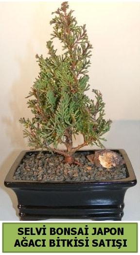 Selvi çam japon ağacı bitkisi bonsai  Van çiçekçi telefonları