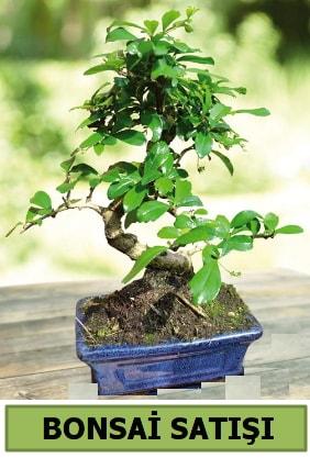 Çam bonsai japon ağacı satışı  Van çiçek satışı