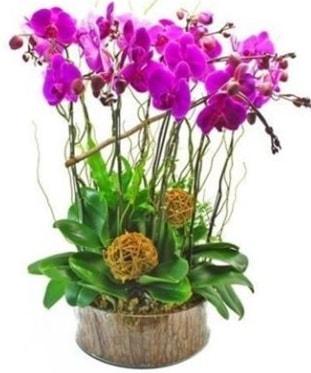 Ahşap kütükte lila mor orkide 8 li  Van internetten çiçek satışı