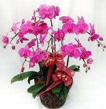 Sepet içerisinde 5 dallı lila orkide  Van ucuz çiçek gönder
