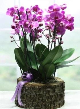 Kütük içerisinde 6 dallı mor orkide  Van ucuz çiçek gönder
