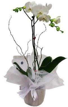 Tek dallı beyaz orkide  Van cicek , cicekci
