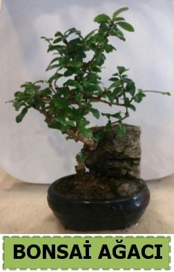 Bonsai ağacı japon ağacı satışı  Van hediye çiçek yolla