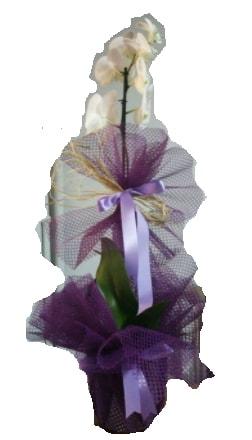 Tek dallı beyaz orkide süper kalite ithal  Van çiçek siparişi sitesi