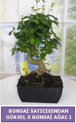 S dal eğriliği bonsai japon ağacı  Van çiçek satışı