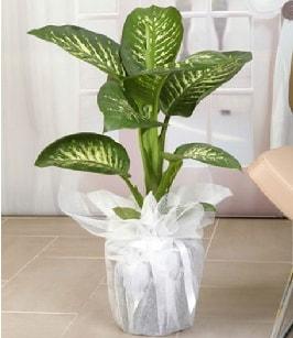 Tropik saksı çiçeği bitkisi  Van çiçek satışı