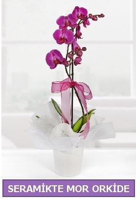 Seramik içerisinde birinci kalite tek dallı mor orkide  Van İnternetten çiçek siparişi