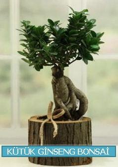 Kütük ağaç içerisinde ginseng bonsai  Van çiçek gönderme sitemiz güvenlidir