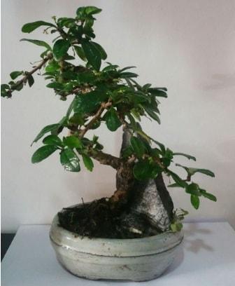 S şeklinde ithal bonsai ağacı  Van çiçek yolla