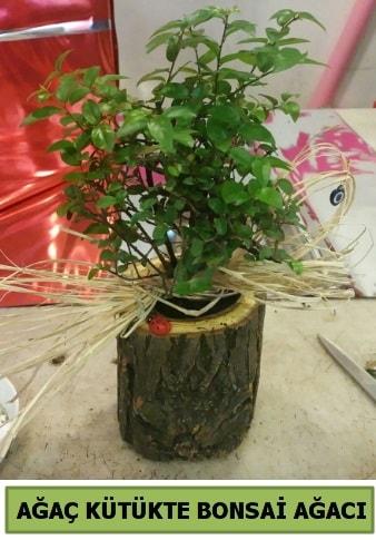 Doğal ağaç kütük içerisinde bonsai ağacı  Van çiçek gönderme sitemiz güvenlidir