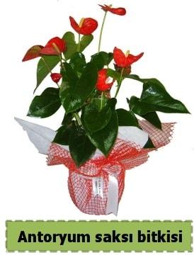 Antoryum saksı bitkisi satışı  Van çiçek , çiçekçi , çiçekçilik
