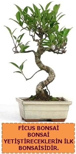Ficus bonsai 15 ile 25 cm arasındadır  Van çiçek yolla