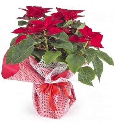 Atatürk çiçeği saksı bitkisi  Van çiçek gönderme sitemiz güvenlidir