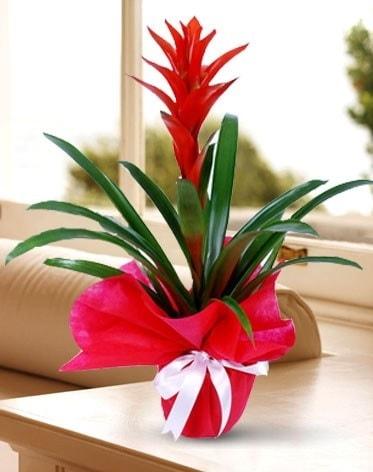 Guzmanya Saksı Çiçeği  Van çiçek yolla