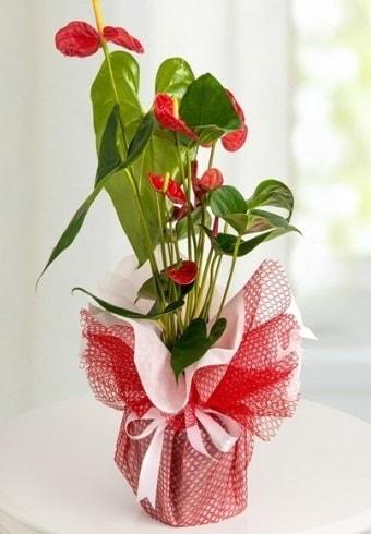 Anthurium Saksı Çiçeği  Van hediye çiçek yolla