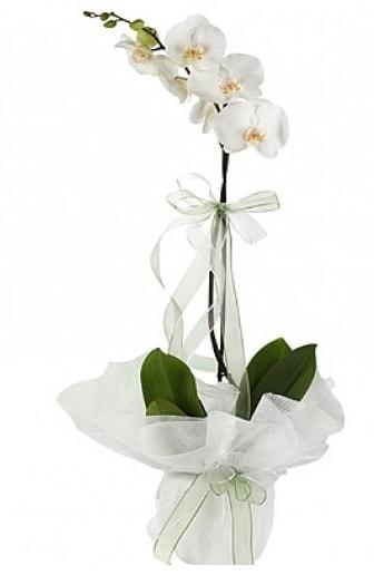 Tekli Beyaz Orkide  Van hediye çiçek yolla