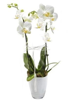 2 dallı beyaz seramik beyaz orkide saksısı  Van çiçek gönderme sitemiz güvenlidir