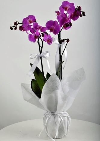 Çift dallı saksıda mor orkide çiçeği  Van çiçek siparişi vermek