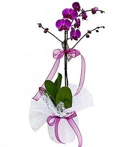 Tek dallı saksıda ithal mor orkide çiçeği  Van çiçekçiler
