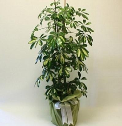 Şeflera salon bitkisi  Van çiçek gönderme
