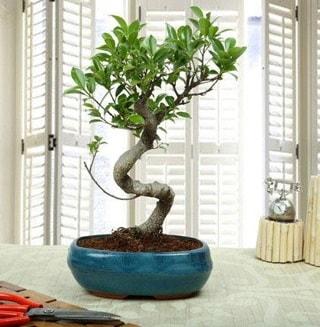 Amazing Bonsai Ficus S İthal  Van internetten çiçek siparişi